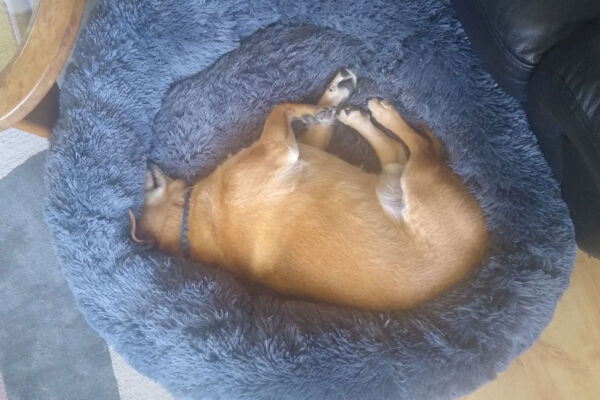 Bo the web design hound sleeping in his bed.