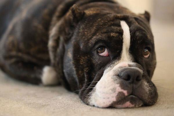 Bored looking dog lay on the floor.